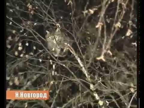 VIDEO: Kuidas venelased puu otsast kassi päästavad