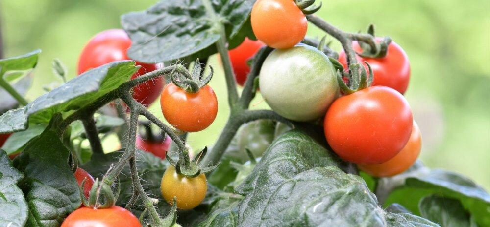 НАШ САД │ Стоит ли выращивать помидоры черри?
