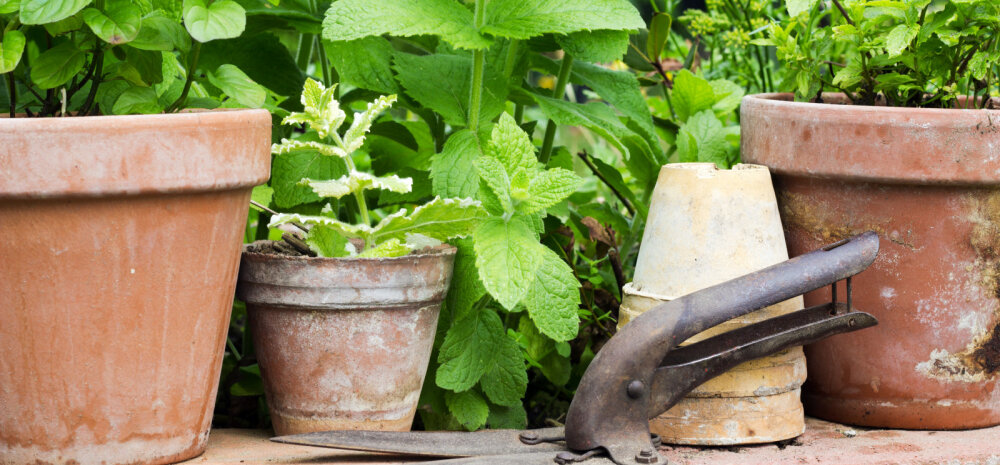 Nõuandeid ravimtaimede korjamiseks ja kuivatamiseks