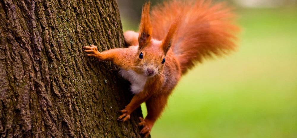 Briti saarte oravaid kimbutab keskaegne pidalitõbi