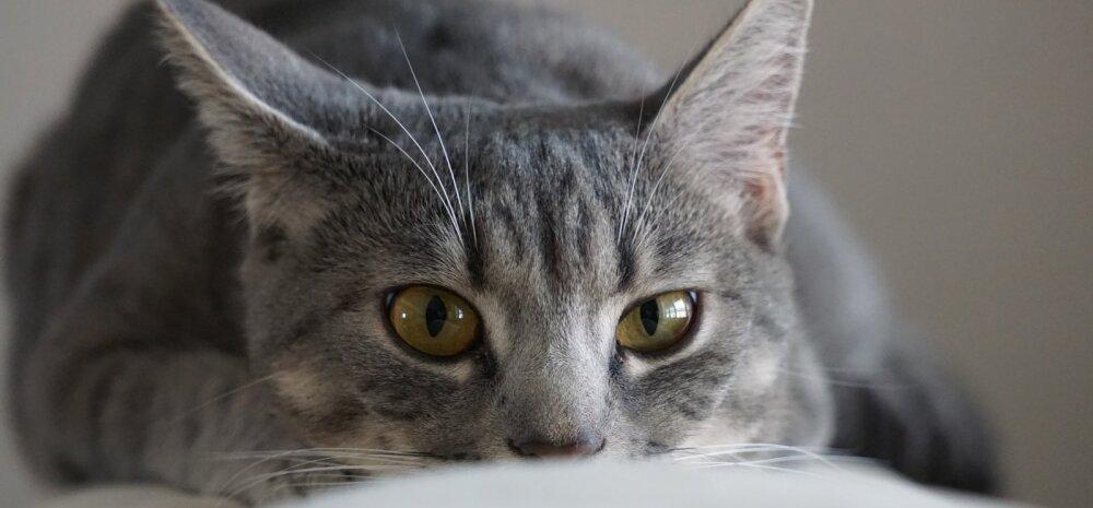 Hüperaktiivne kiskja: mida teha, kui kass tormab öösiti ringi nagu saatan ajaks teda taga