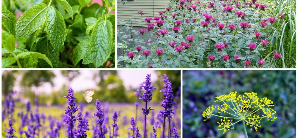 И есть, и любоваться: душистые травы для готовки и красивого сада