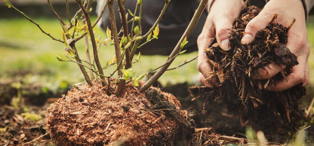 Millised on hapulembesed taimed ja kuidas rajada turbapeenart?