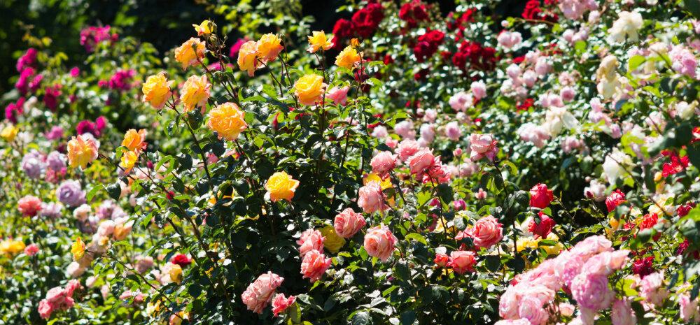 FOTOVÕISTLUS: Saada pilt oma aias ilutsevatest roosidest ja võida äge auhind!