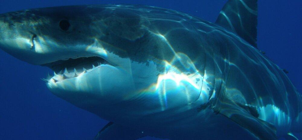 Müstiline ja aukartustäratav mõrtsukhai: miks ei saa teda kunagi üheski okeanaariumis oma silmaga näha?