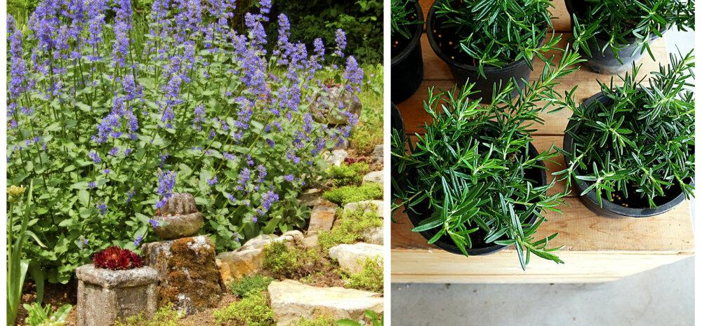Seitse suurepärast taime, mis aitavad sääsed aiast minema peletada