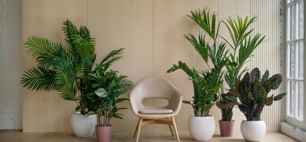 Kümme suurepärast toataime, mis puhastavad õhku mürgistest ainetest