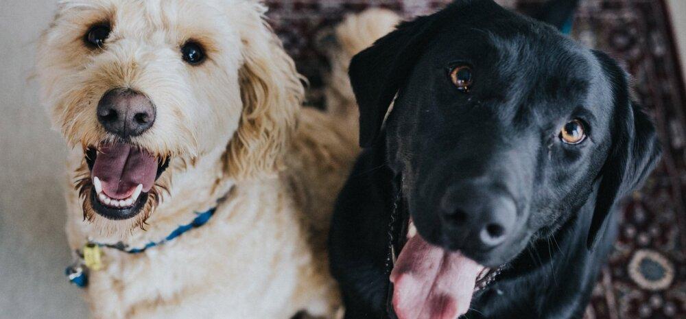 """Häiriv komme: miks koerad """"kargavad"""" ja kuidas sellest lahti saada?"""
