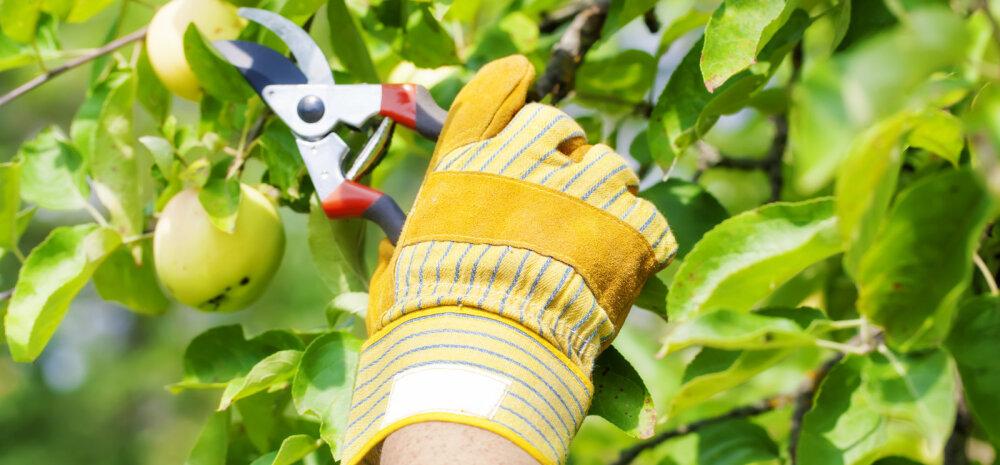 HÜVA NÕU │ Miks on targem lõigata viljapuid suvel