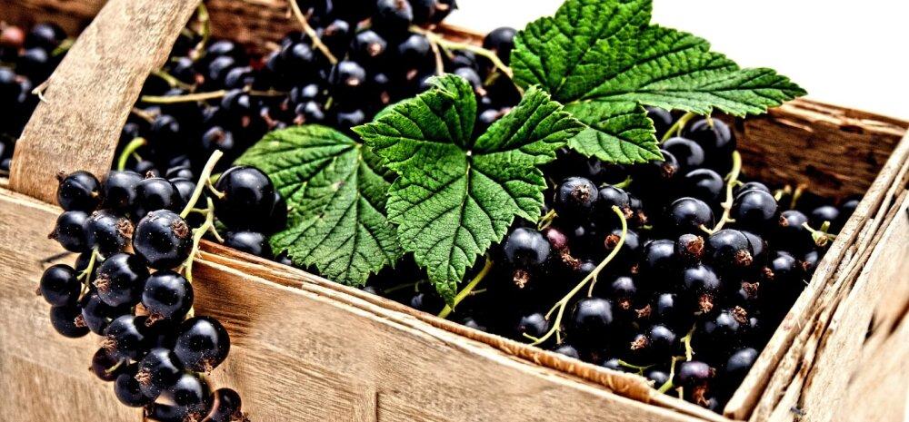 Как правильно посадить черную смородину осенью