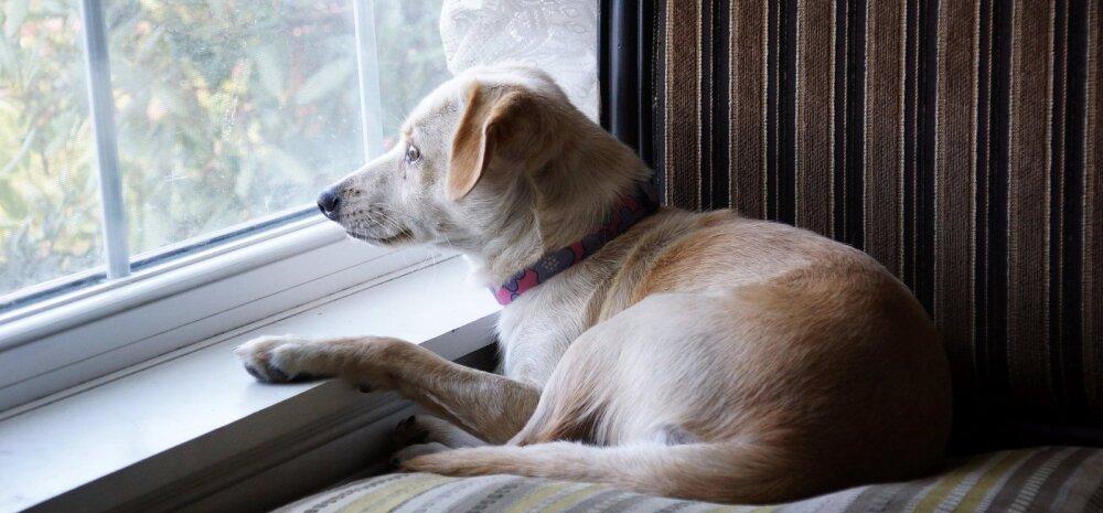 Seltsis segasem: kas koer tunneb end ilma kaaslaseta üksikuna?