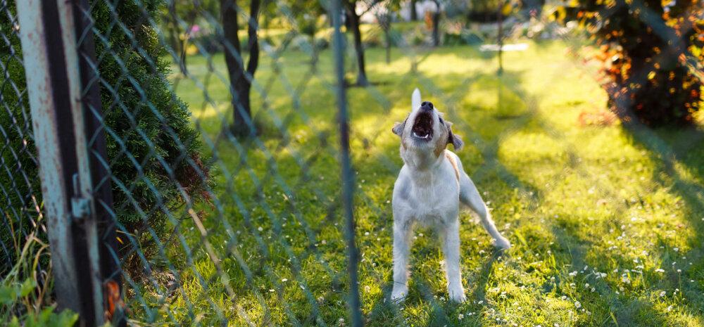 Koer haugub aias: kuidas pidevale haukumisele piir panna?
