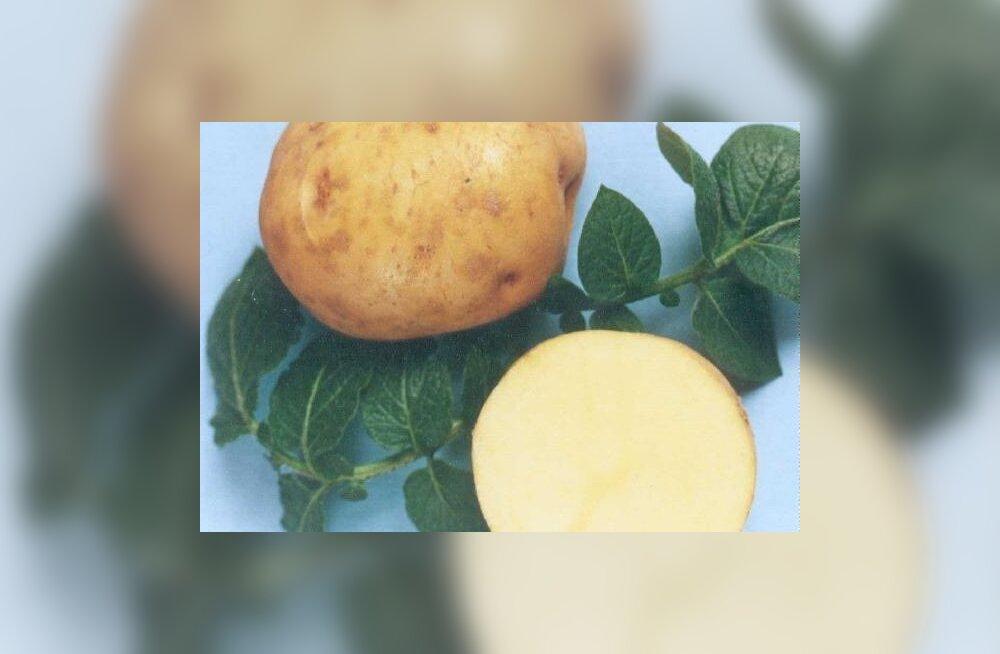 Maitsvad Eesti kartulisordid – Jõgeva kollane ja Juku