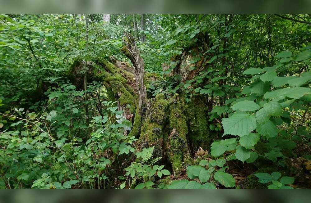 Rahvusvaheline fotovõistlus tõstis esile Eesti hiiemetsade kaitse