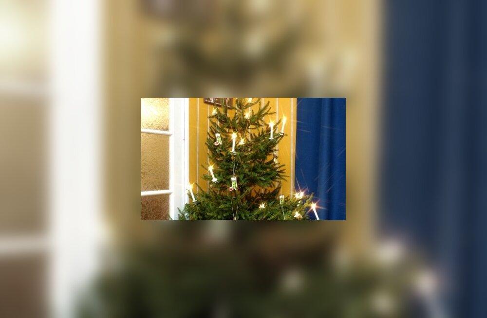 Kumb viiakse jõuluks tuppa - kuusk või nulg?