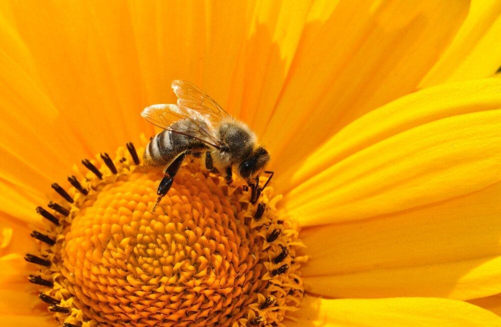 Tallinna Botaanikaaias alustasid tööd ka mesilased