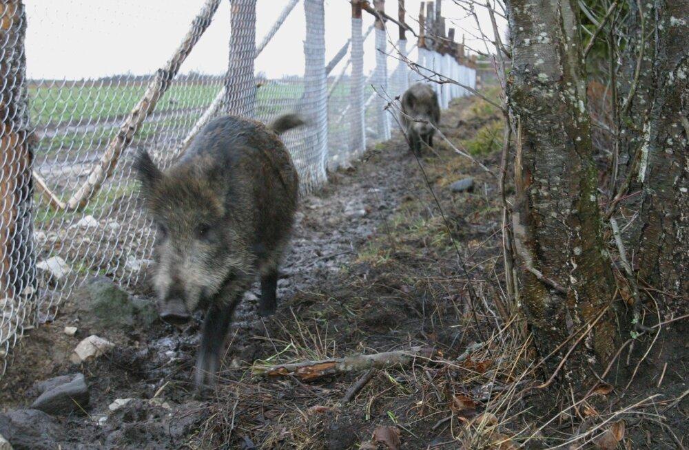 Piirile ehitatav loomatõkketara takistab enamiku Eesti ulukite, teiste seas metssigade liikumist, kui piirdeaias pole umbes iga 5 km tagant läbikäigukohta.