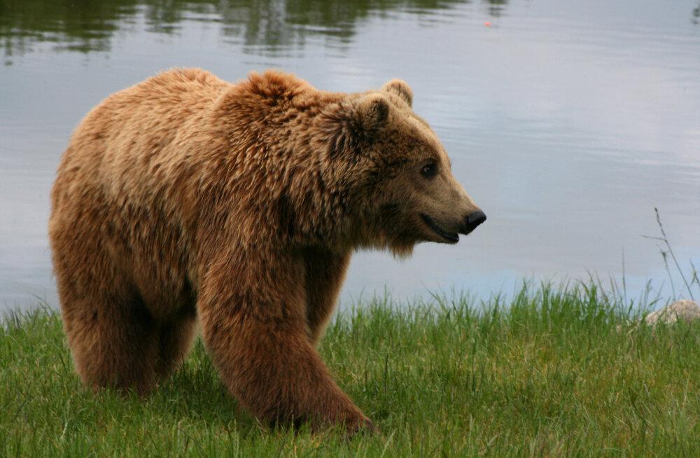 Karu sattus teadaolevalt esimest korda Vilsandile