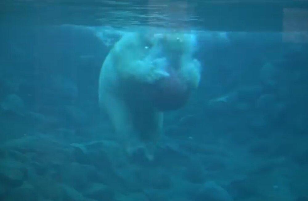 NUNNUVIDEO: Kaheaastaseks saanud jääkarumürakas Aron näitab ette, kuidas käib kogukehatareening palliga