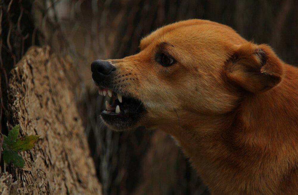 TOP 5: Millised käitumismustrid näitavad, et sinu armsas koeras on säilinud ka ürgne ja metsik pool?