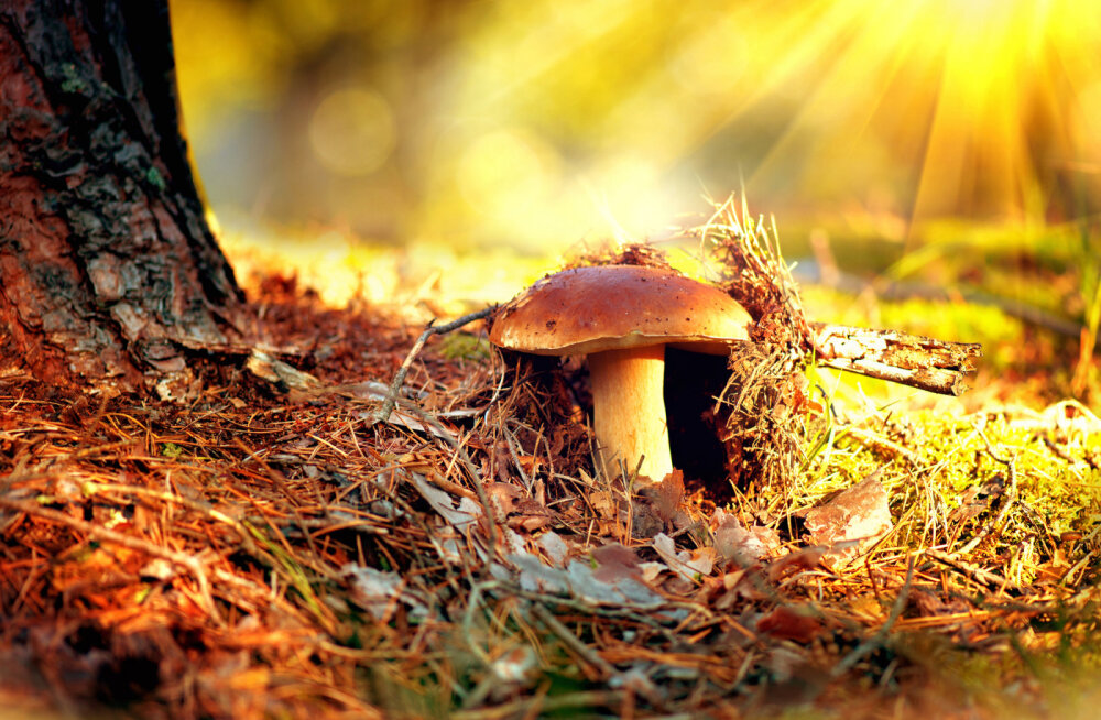 Rahvakalendri järgi on täna pärtlipäev: tasub minna metsa seenele või kallimale kosja!