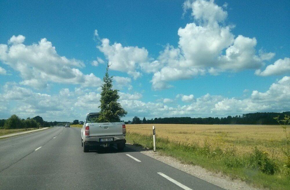 PÄEVAPILT: Üksik kuusk autokastis sõitmas