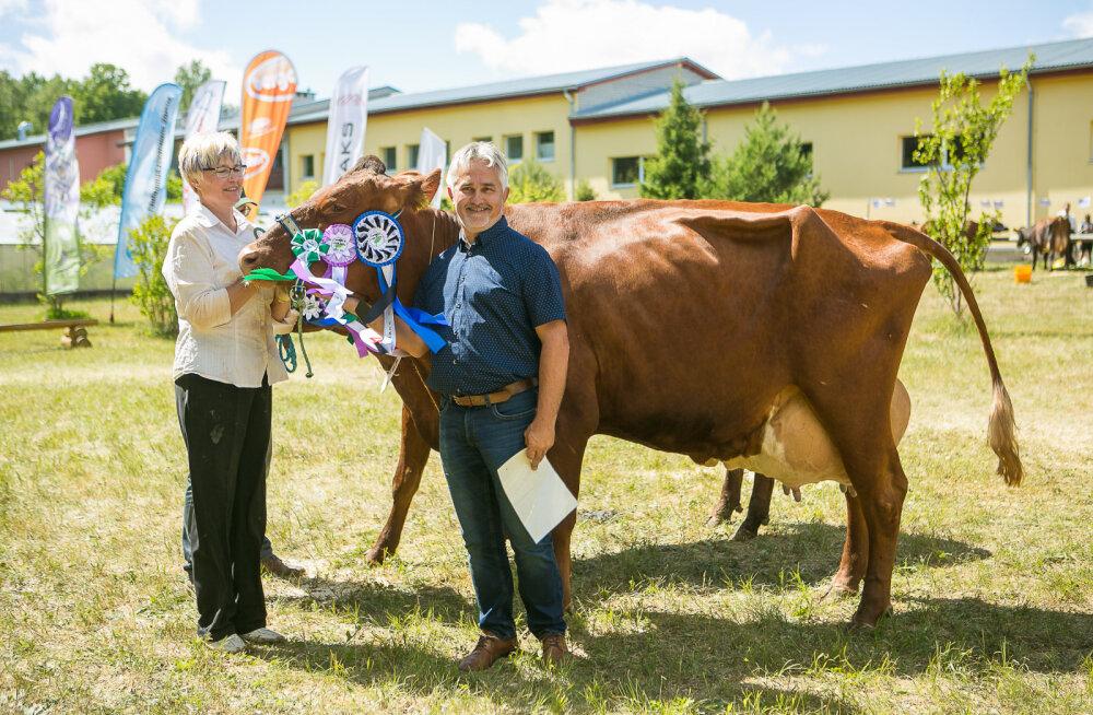 MEIE MAA | Saarte kaunimad lehmad taas selgunud