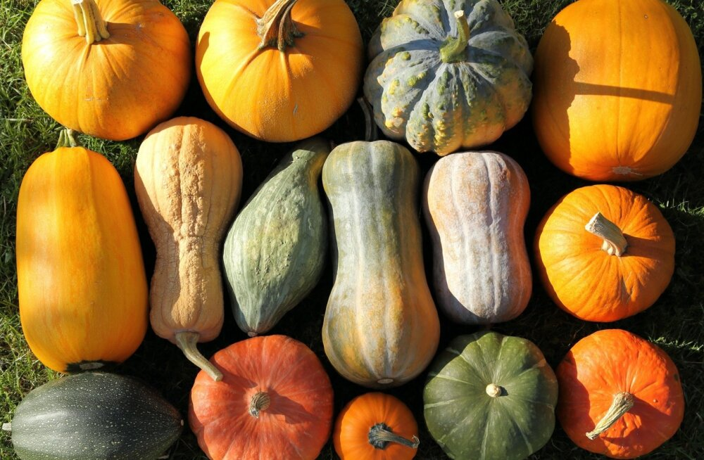 Kui viljas esineb kukurbitatsiini, on selle maitse ka kibe ja ebameeldiv.
