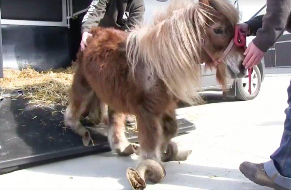 VIDEO   Hooletusse jäetud poni leidis uue ja armsa kodu ning muutus tundmatuseni