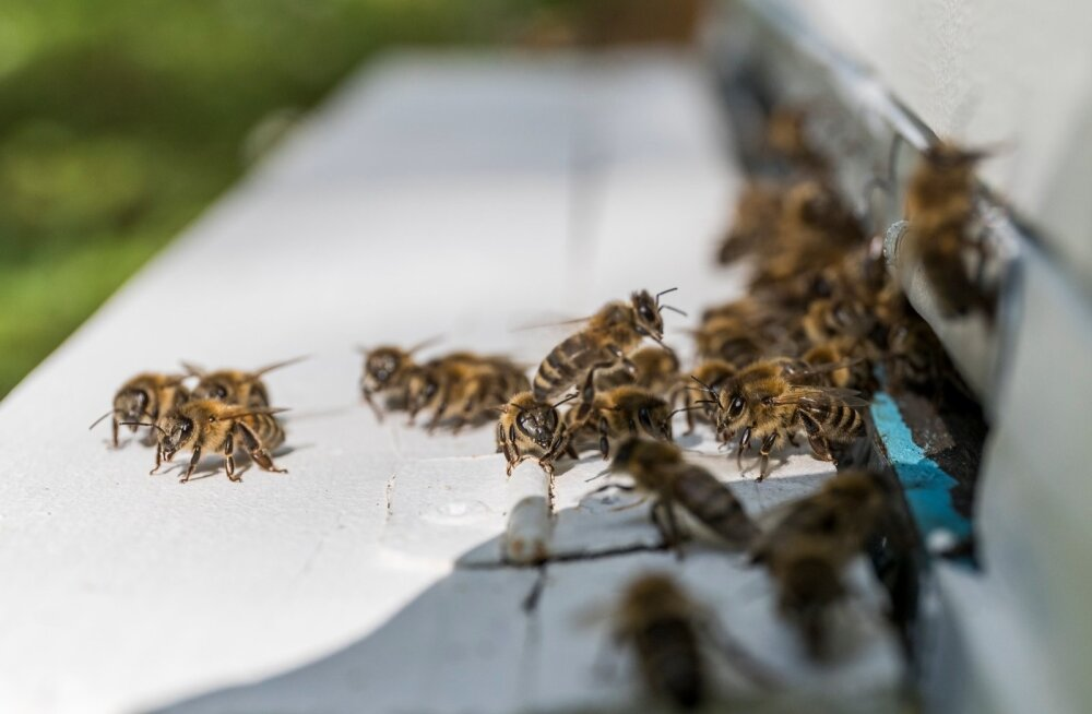 Linna mesilastarude eesmärk on suurendada linlaste keskkonnateadlikkust ja näidata, et linnamesilaste mesi ei jää maapiirkondadele kuidagiviisi alla.