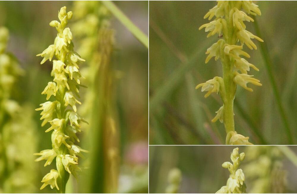 Aasta orhidee 2017 on harilik muguljuur