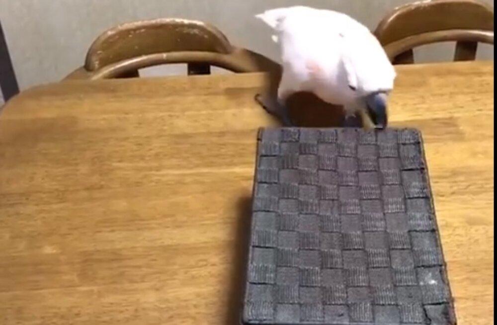 VIDEO | Jackpot: papagoi reaktsioon on karbist leitud külalise peale lihtsalt jalustrabav