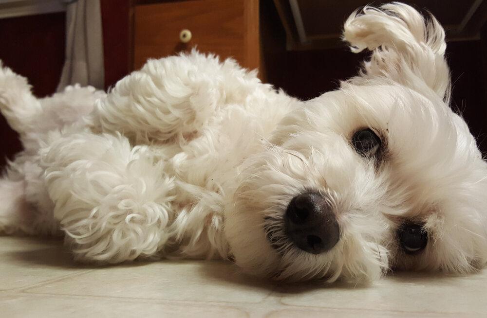 VIDEO vahvast koeratrikist, mida on kuidagi imelikult rahustav vaadata