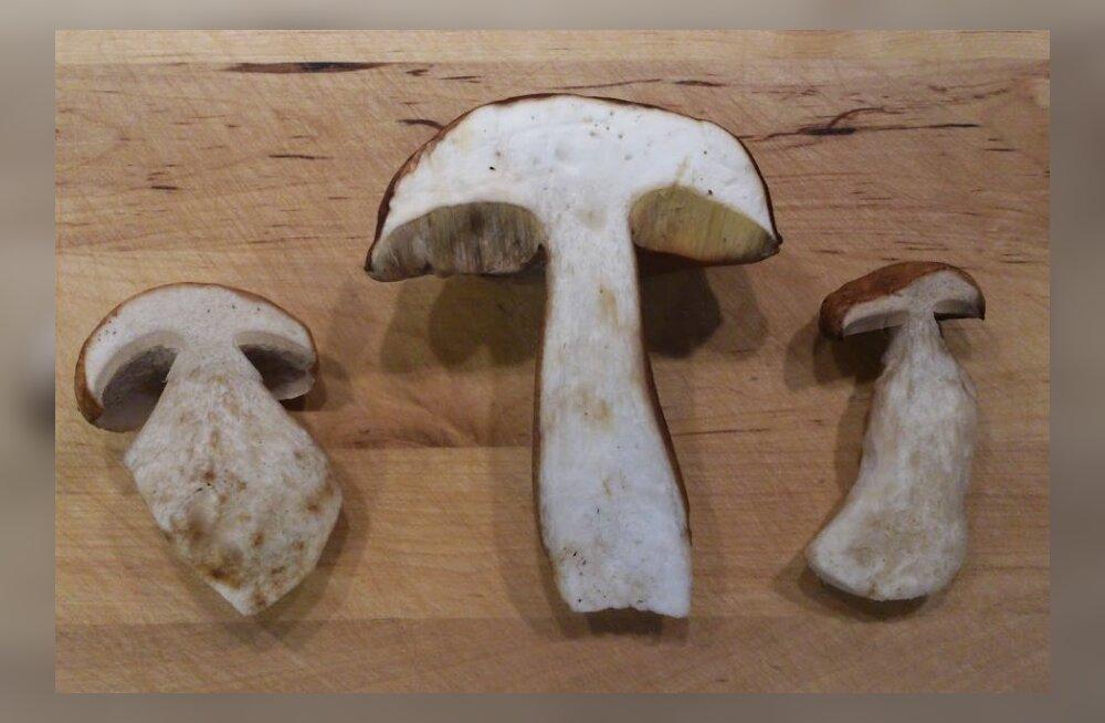 Uued liigid otse meie nina all: poodides võib olla müügil teadusele tundmatuid seeni