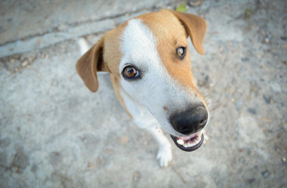 UURING | Tahad, et koer sind paremini kuulaks? Kasuta õiget hääletooni