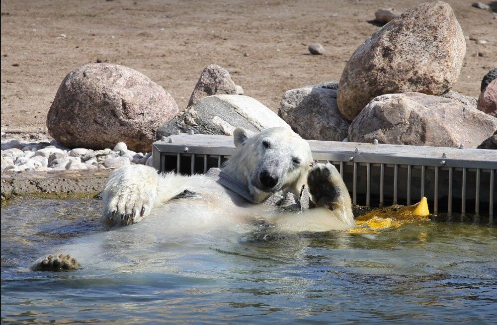 FOTO | Jääkaru Friida tabati vahvas poosis basseinimõnusid nautimas