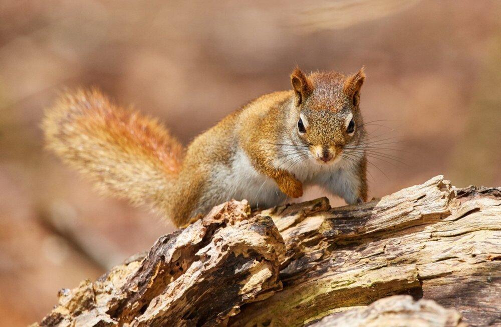 Abitud oravapojad: Nõmmelt leitud oravad vajavad inimeste abi