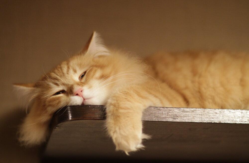 Kass on stressis? Teadlased soovitavad nippe, kuidas teda uuesti nurruma panna