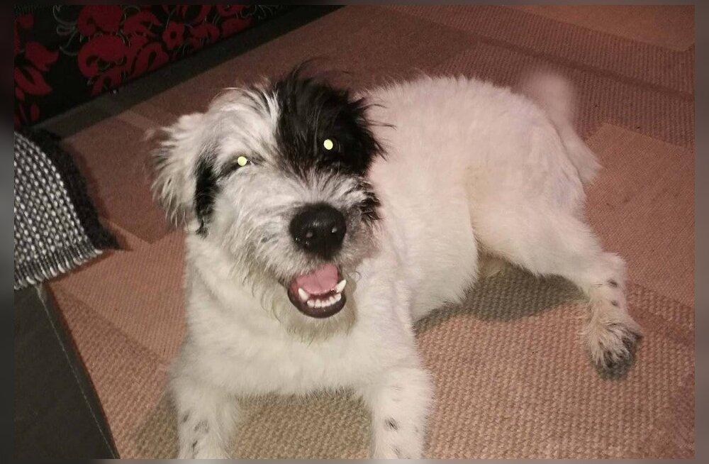 Mailo lootusetuna näiv lugu: lapsesõbraliku koera pähe müüdud kutsikas kartis mehi ja urises ka laste peale