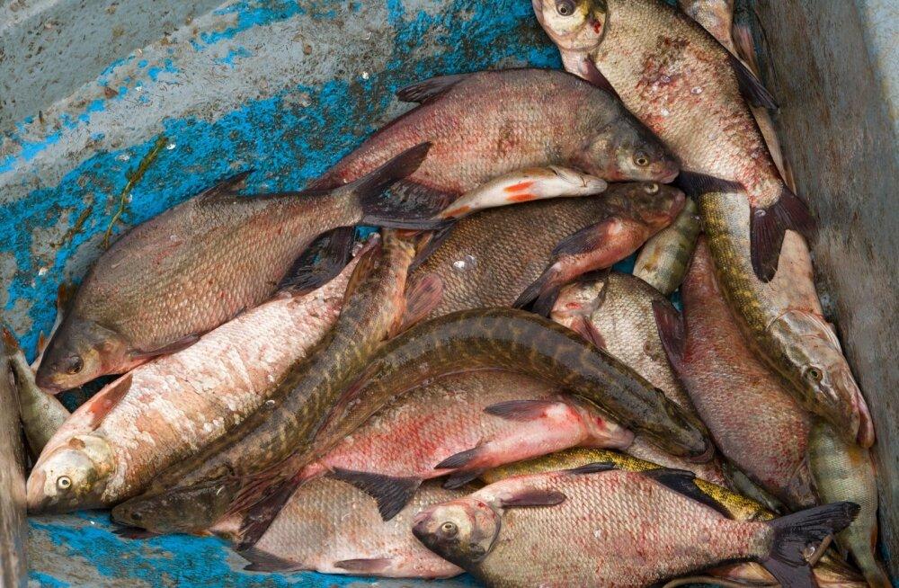 Mustamäelastel veab - neil on korralik kalaturg