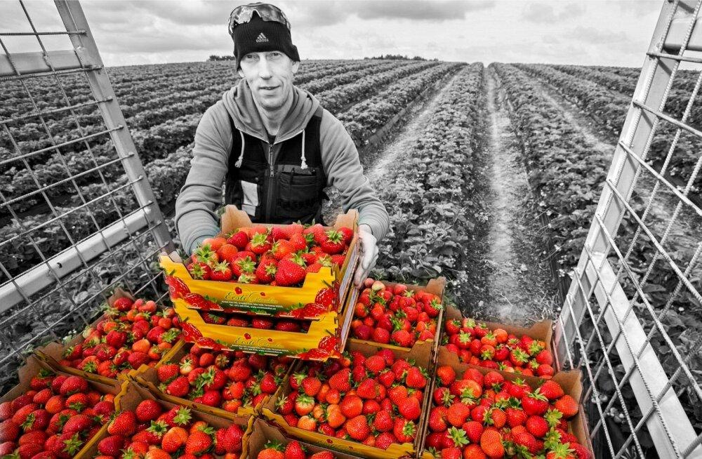 Maasikakasvatusse suhtus Valdis Kaskema suure kirega, arendades seda valdkonda kogu Eestis.