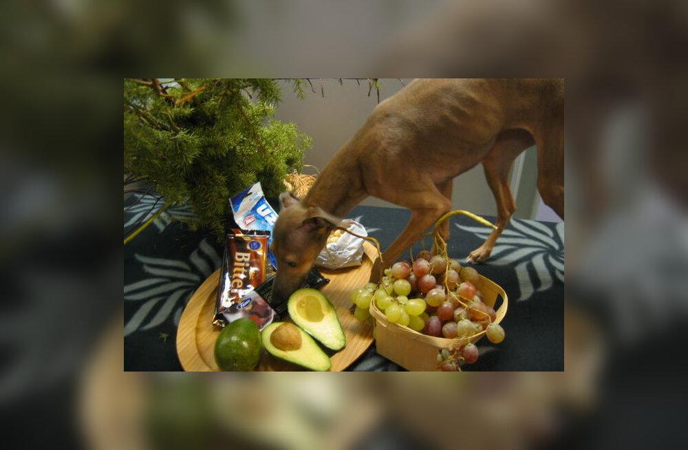 OHUD PÜHADE AJAL: need jõulutoidud ja allaneelatud esemed võivad koera tappa