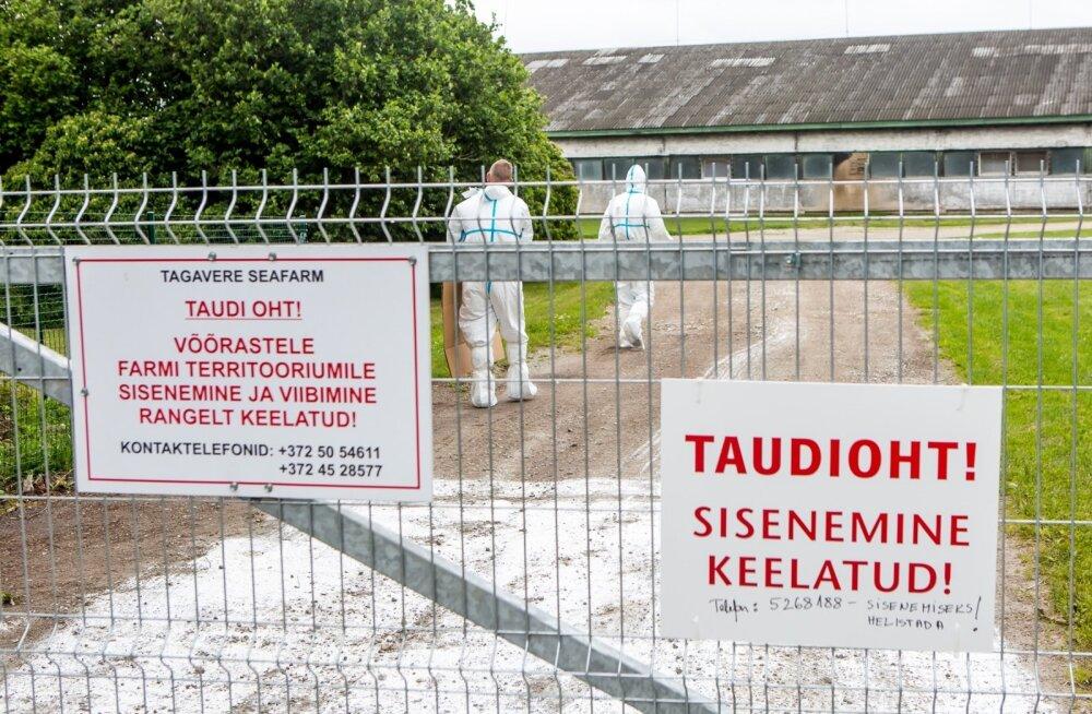 Eelmisel nädalal diagnoositi sigade Aafrika katk Saaremaal ligi 3200 seaga farmis. Kuidas pisik farmi sai, seda alles uuritakse, kuid esialgsetel andmetel olid kõik bioohutusnõuded täidetud.