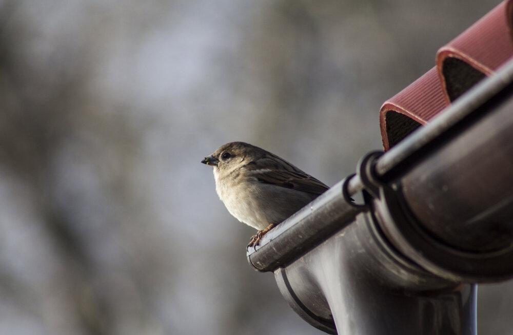 Plaanid alustada katuse ja fassaadi ehitustöödega? Ära unusta enne lindude pesitsusperioodi koristada katustelt praht ja oksad