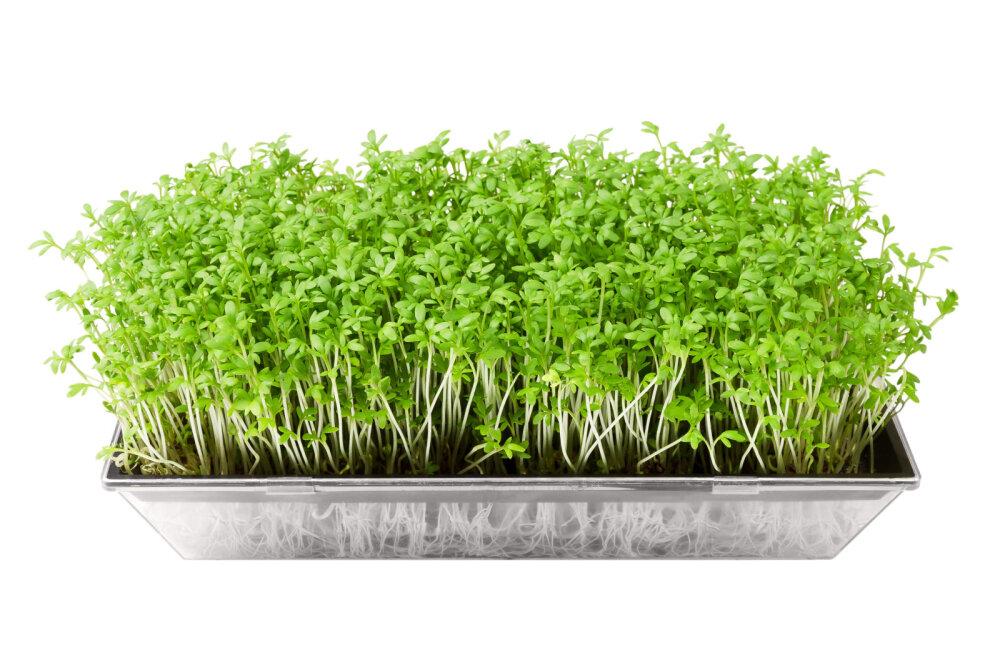 Lihtne ja tõhus on kasvatada maitserohelist aknalaual