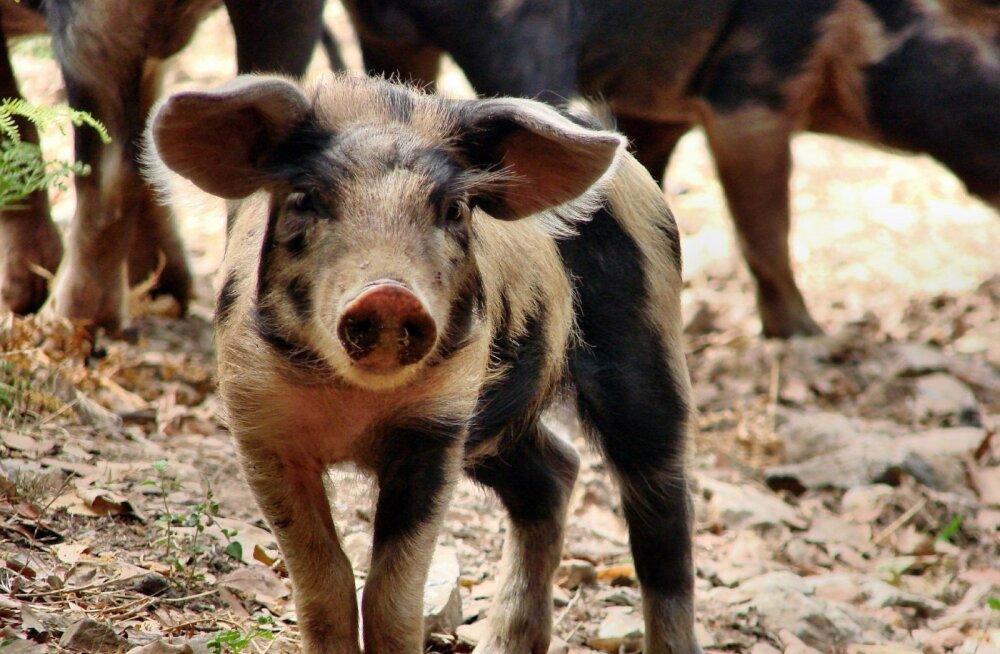"""Sead ei """"sigatse"""" ega söö """"nagu sead"""": 10 üllatavat fakti sigade kohta"""