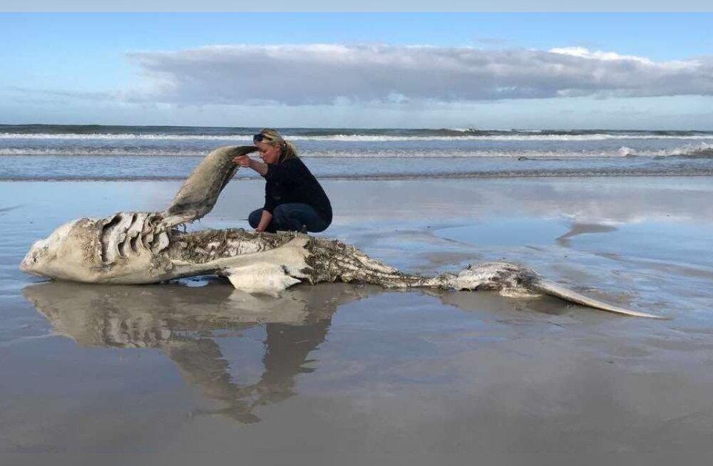 Järjekordne suur valgehai leitud eemaldatud elunditega