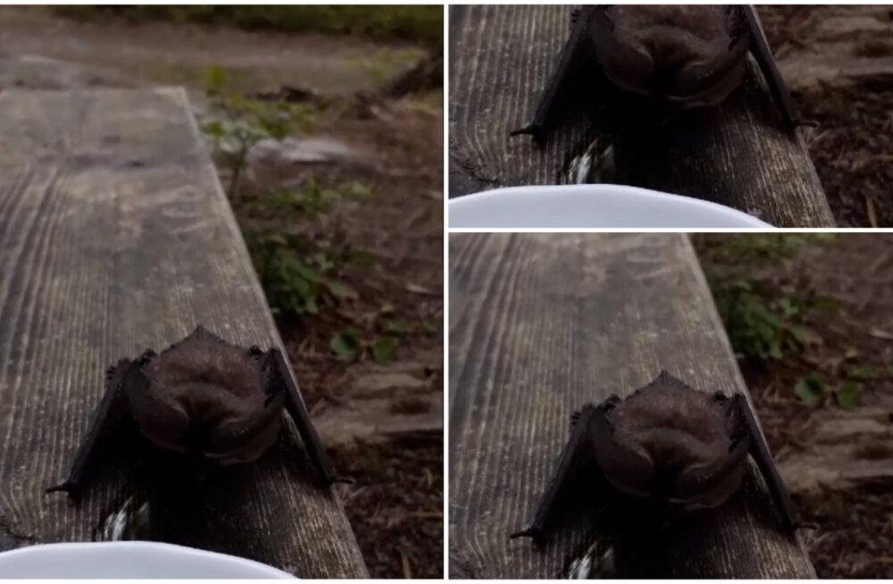 VIDEOD   Kuumus ajas nahkhiire päise päeva ajal terrassile vett jooma