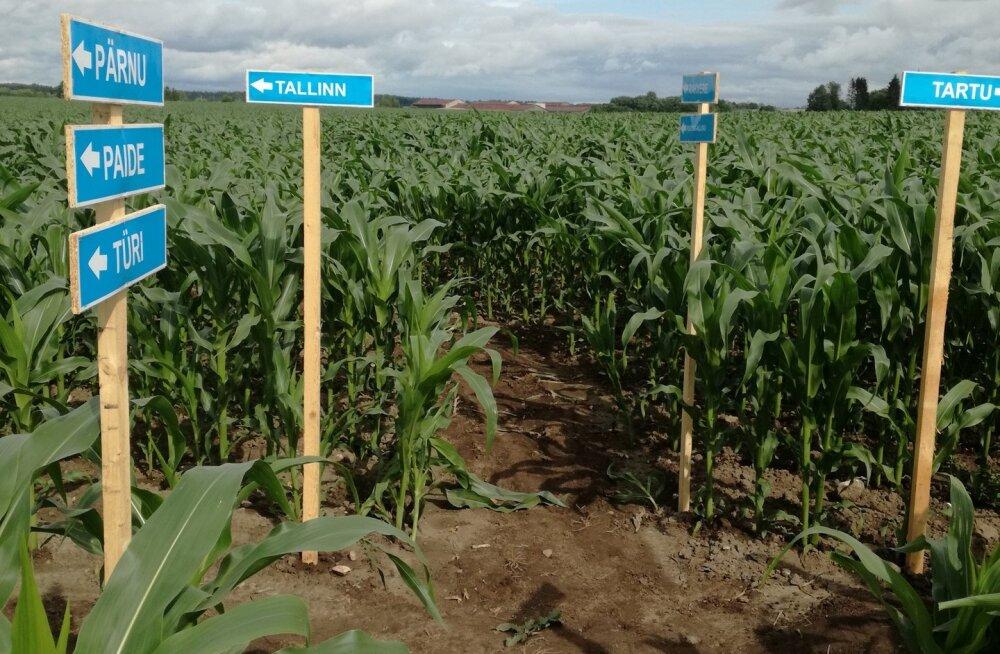 Roosna-Allikul avatakse Järvamaad kujutav maisilabürint