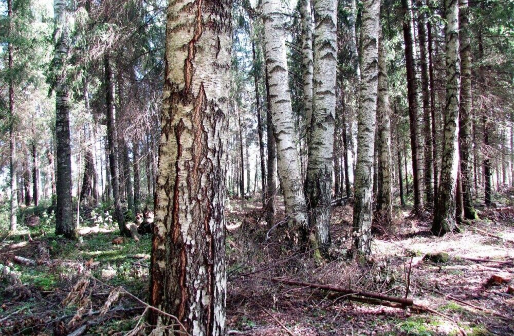 Leili metsalood | Keskmiselt 29 meetrit